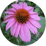 Ехинация пурпурная присутствует в составе уренола