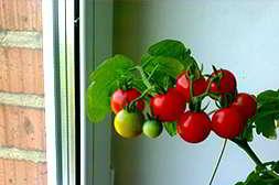 Мини ферма помидоры умещается на подоконнике