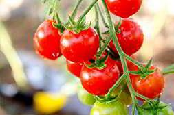 Мини ферма помидоры требует минимум затрат