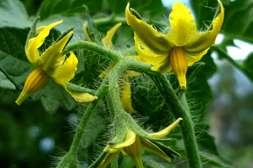 Стимулятор цветения Флоравит вызывает цветение культур раньше.