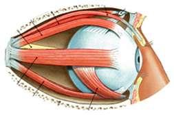 Состав Биокулиста устраняет глазные расстройства.